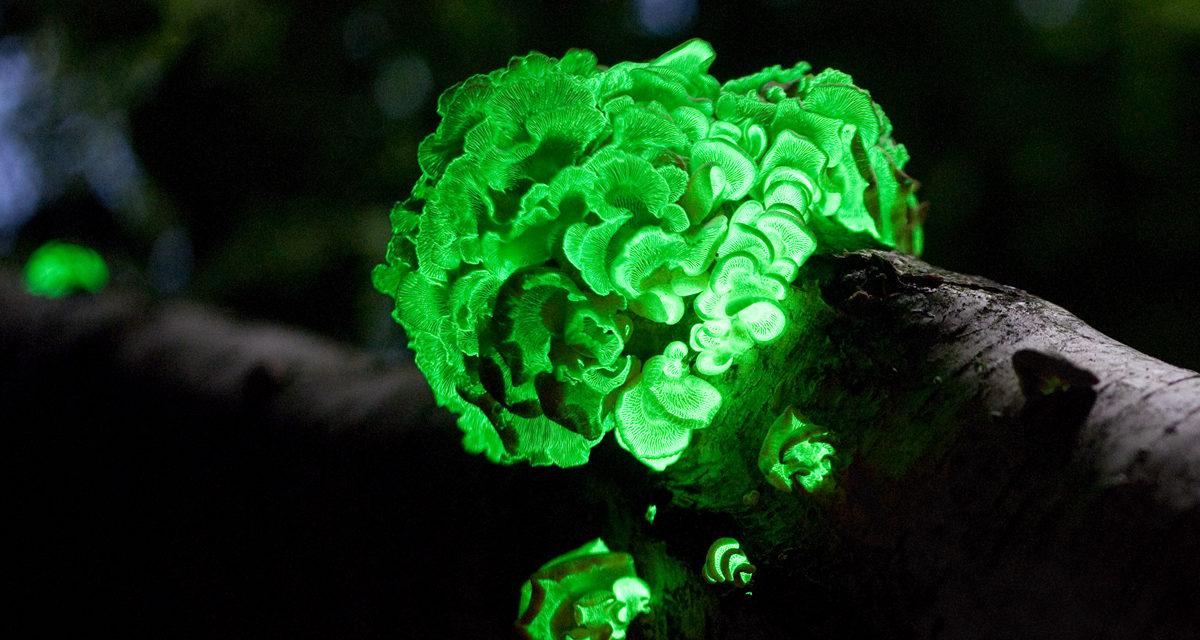 """<span class=""""entry-title-primary"""">GLOWING TREES: GLI ALBERI LUMINESCENTI</span> <span class=""""entry-subtitle"""">Team internazionali composti da biologi, scienziati e tecnici, stanno lavorando a """"Glowing Trees"""" (alberi luminescenti), un progetto che, utilizzando le tecniche della biologia sintetica, riproduce in modo naturale l'illuminazione artificiale</span>"""